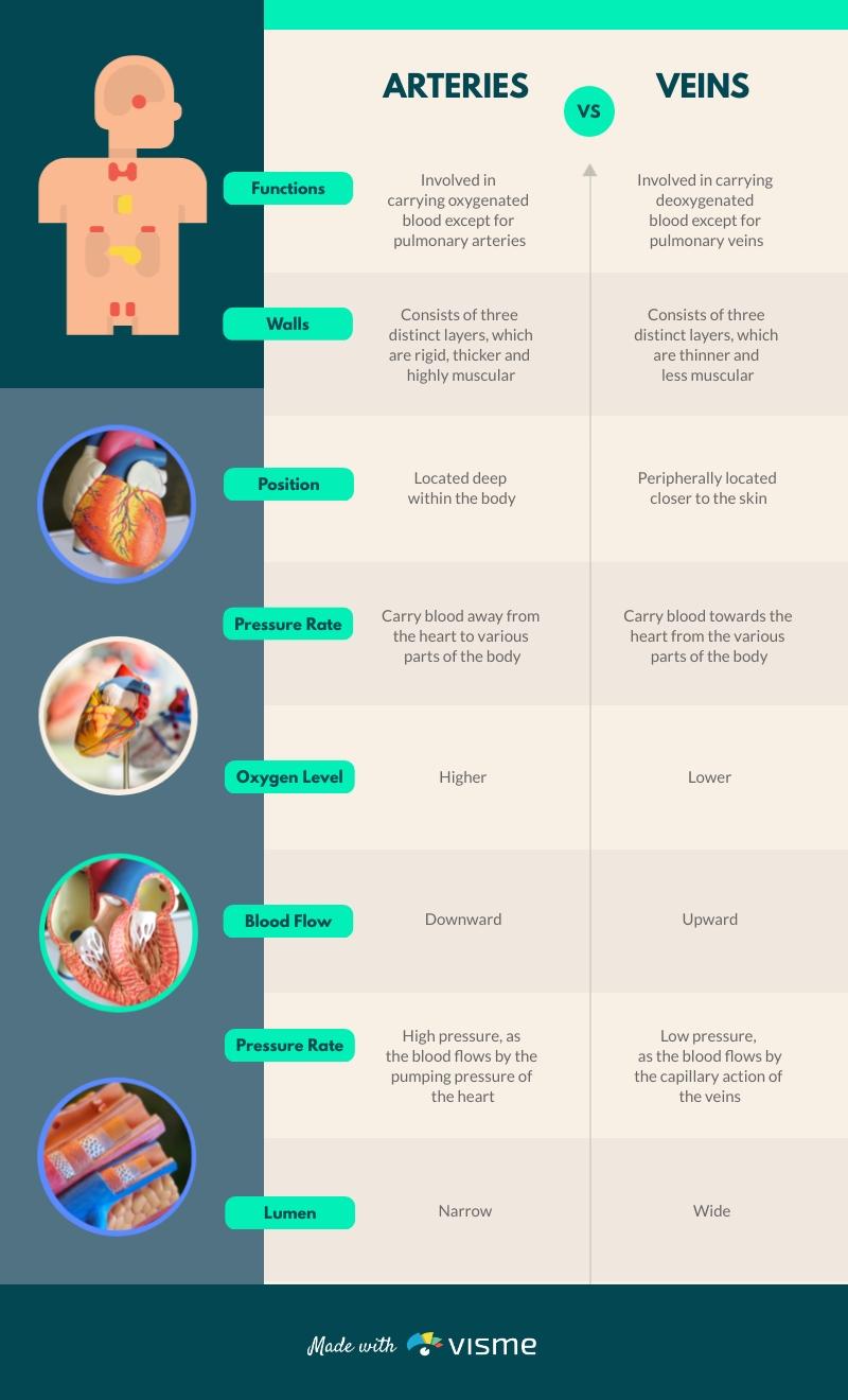 Arteries vs Veins - Infographic Template