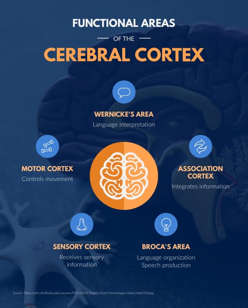 Cerebral Cortex - Infographic Template